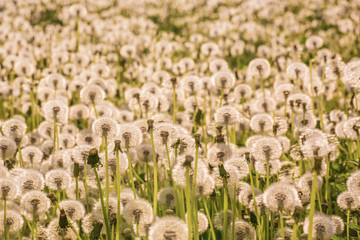 Many fluffy dandelions