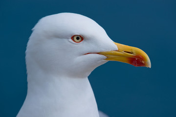 Portrait of a Yellow-Legged Gull