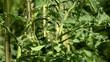 Solanum lycopersicum 番茄 Томат Pomidor zwyczajny