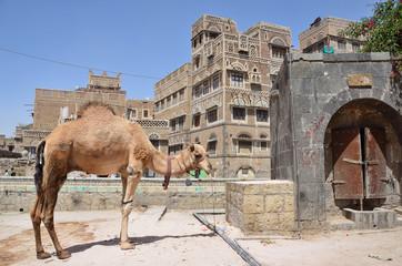 Йемен, Сана, верблюд на улице в старом городе