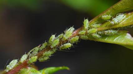 aphids sucking on rose shoot