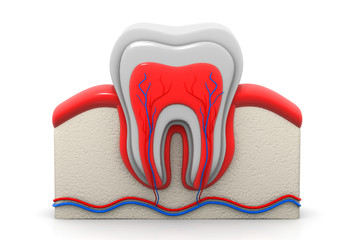 Healthy tooth cross section