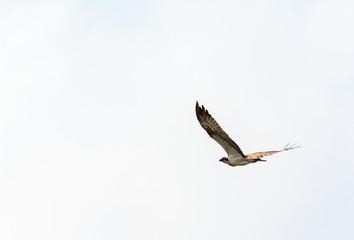 Osprey fly