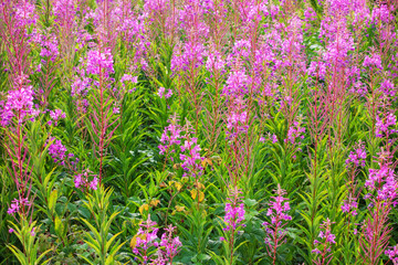 Blooming Fireweed