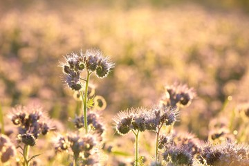 Flowering herbs in the field backlit by the setting sun