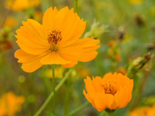 Beautiful yellow flower of Cosmos or Mexican aster (Cosmos sulph