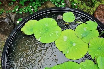 雨に濡れている蓮の葉