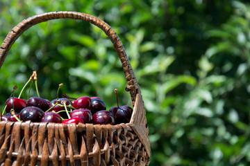 A hamper of red cherries in the garden