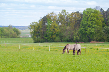 Two horses graze in the pasture