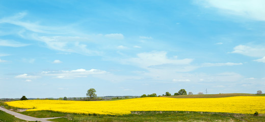 The field of colza in east europe, Poland