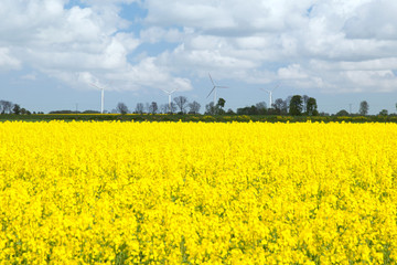 The yellow colza field against wind power generator