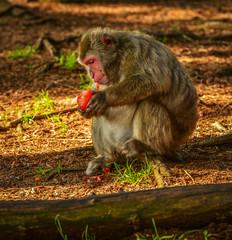 Affe, Japanmakaken beim Fressen