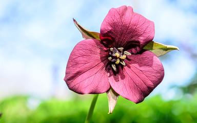 Trillium sulcatum  perennial wildflower