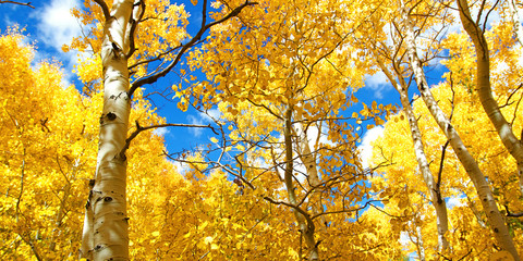 Autumn Canopy of Brilliant Yellow Aspen Tree Leafs in Fall in th