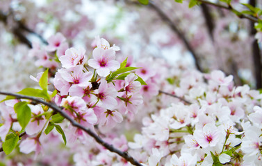 Flowering Cherry Blossom Tree in Nashville Tennessee