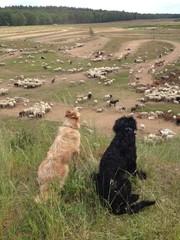 Hütehunde bewachen die Herde