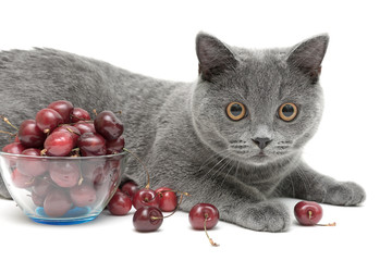 cat (breed Scottish Straight) and cherry on a white background