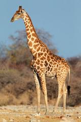 Giraffe bull, Etosha National Park