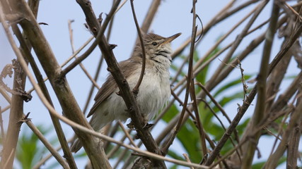The nightingale (Luscinia megarhynchos) sings in a bush