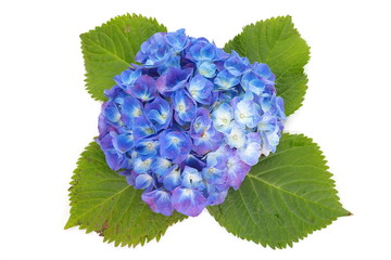 beautiful hydrangea flower isolated on white background