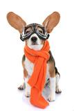Fototapeta Pies w goglach i w szaliku