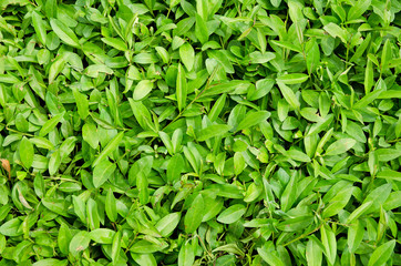 Carpet of fresh green leaves
