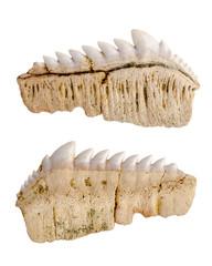 Paleontology. Notidanus. Fossil fossilized shark teeth. Isolated