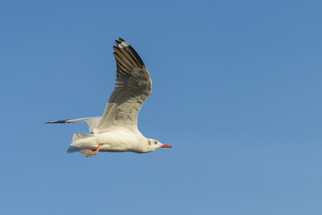 flying seagull alone beautiful on blue sky background
