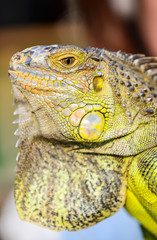 close-up green Iguana reptile animal background blur