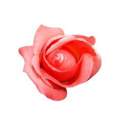 Pink bud roses isolated on white background
