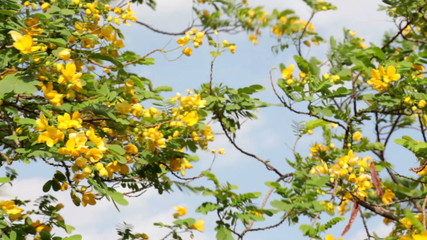 beautiful tree with yellow flowers on blue sky background