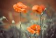 garden poppy flowers