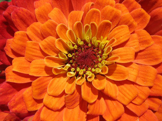Bright orange zinnia close up