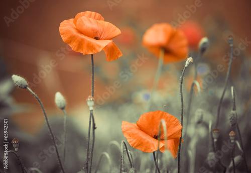 garden poppy flowers - 65942301