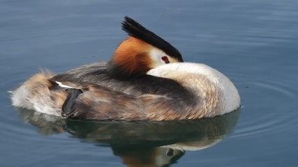 Crested grebe duck sleeping on the lake