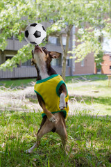 Funny dog is playing soccer.