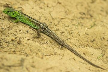 Sand lizard (Lacerta agilis) in the sand
