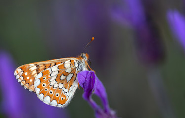Diurnal white and orange colored butterfly