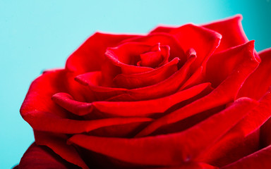 Closeup of blossoming red rose flower on blue