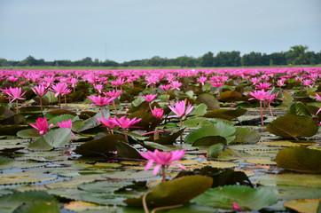 Large Group of Lotus Flowers in Lake