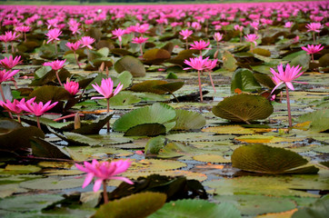 Large Group of Lotus Flowers in Lake