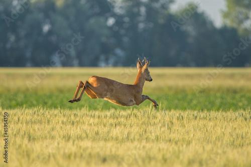 Fotobehang Ree Chevreuil qui saute dans les champs