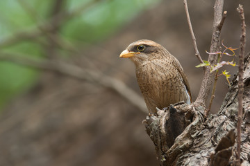 A Yellow-billed shrike (Corvinella corvina) looking out from a p
