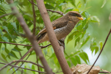 A Yellow-billed shrike (Corvinella corvina) perched in a young t