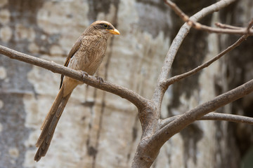 A Yellow-billed shrike (Corvinella corvina) perched in front of