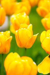 Monte Carlo tulips