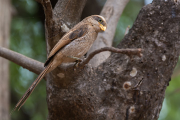 A Yellow-billed shrike (Corvinella corvina) perched on a slender