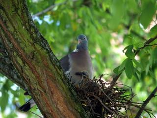 Taube mit ihrem Jungen
