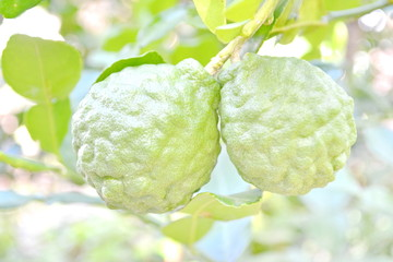 Kaffir Lime fruits on tree