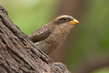 A Yellow-billed shrike (Corvinella corvina) peeking out from beh